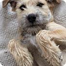 Adopt A Pet :: COMET (SRC#1678) IN NC