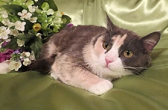 Calico Cat for adoption in St. Louis, Missouri - Genevieve
