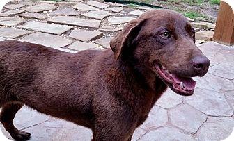 Labrador Retriever Dog for adoption in Coppell, Texas - Cloe