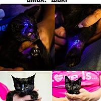 Adopt A Pet :: Worf NO FEE Glow Kitty - Fredericksburg, VA