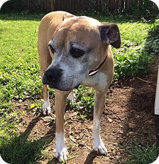 Boxer Dog for adoption in Bellbrook, Ohio - Agnes