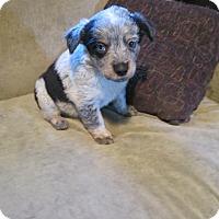 Adopt A Pet :: Collie Mix Litter - Middletown, RI