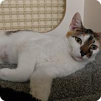 Adopt A Pet :: Adelaide - Tampa, FL