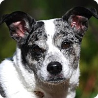 Adopt A Pet :: Bella Blue - Bellevue, WA