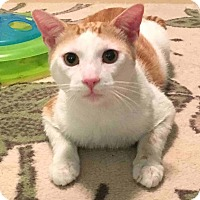 Domestic Shorthair Cat for adoption in Menifee, California - Alvin