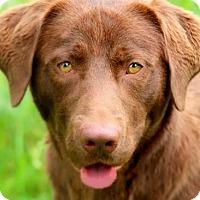 Adopt A Pet :: CEDAR(THE ALL AMERICAN LAB!!) - Wakefield, RI