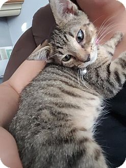 Domestic Shorthair Kitten for adoption in Philadelphia, Pennsylvania - Goober