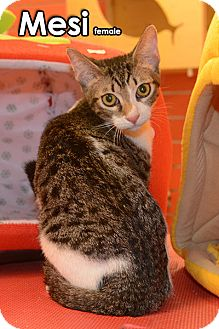 Oriental Kitten for adoption in Seattle, Washington - Mesi Jang