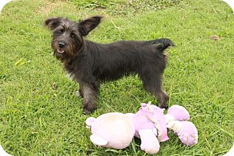 Terrier (Unknown Type, Small) Mix Puppy for adoption in Spring Valley, New York - Trixie