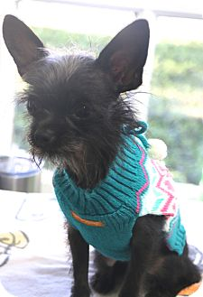Terrier (Unknown Type, Small)/Chihuahua Mix Dog for adoption in Woonsocket, Rhode Island - Stella