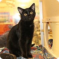 Domestic Shorthair Kitten for adoption in Rochester, Minnesota - Gutsy