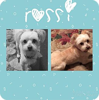 Yorkie, Yorkshire Terrier/Poodle (Miniature) Mix Dog for adoption in Garden City, Michigan - Rossi