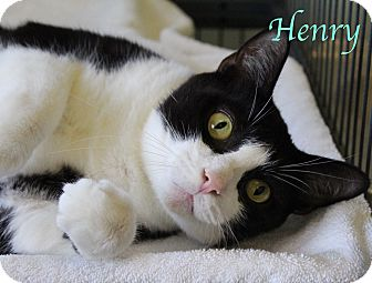 Domestic Shorthair Cat for adoption in Bradenton, Florida - Henry