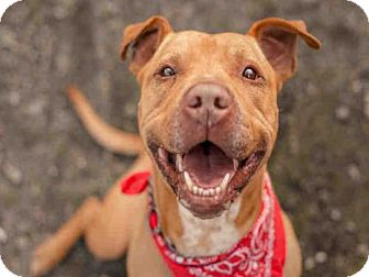 Pit Bull Terrier Mix Dog for adoption in McKinleyville, California - BUBBA