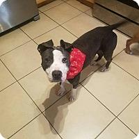 Adopt A Pet :: Jaxie - North Haledon, NJ