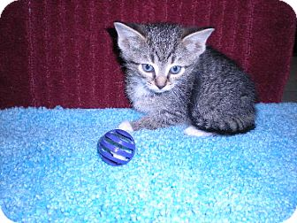 "Domestic Shorthair Kitten for adoption in New Castle, Pennsylvania - "" Eva """