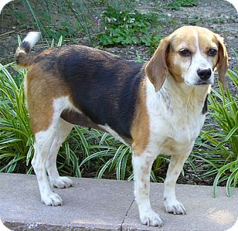 Beagle Mix Dog for adoption in Richmond, Virginia - Honey