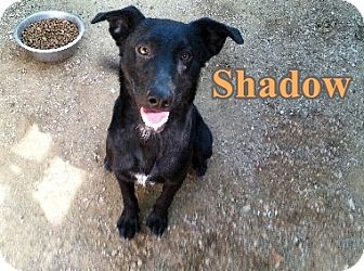 Border Collie/American Staffordshire Terrier Mix Dog for adoption in Boaz, Alabama - Shadow