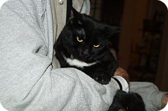 Domestic Shorthair Cat for adoption in Cincinnati, Ohio - zz 'Little' urgent need listing