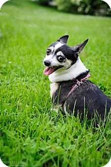 Chihuahua/Boston Terrier Mix Dog for adoption in Southeastern, Pennsylvania - Cindy Lou