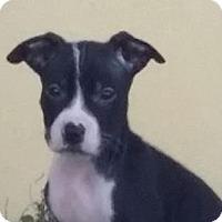Adopt A Pet :: Tiana (Blanca Litter) - Fort Lauderdale, FL