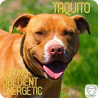 Pit Bull Terrier Mix Dog for adoption in Washburn, Missouri - Taquito