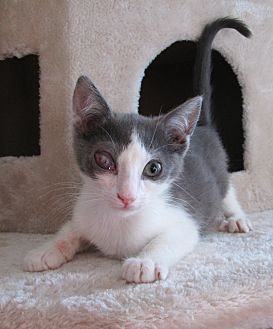 Domestic Shorthair Cat for adoption in San Bernardino, California - Cloud