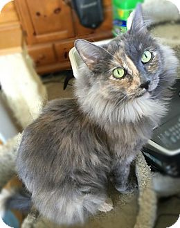 Maine Coon Cat for adoption in Lakewood, California - CALLA