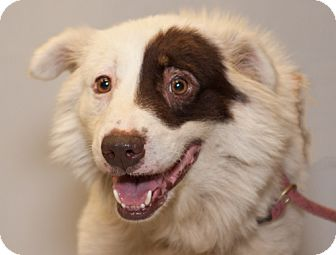 Australian Shepherd/Chow Chow Mix Dog for adoption in Martinsville, Indiana - Chauncy
