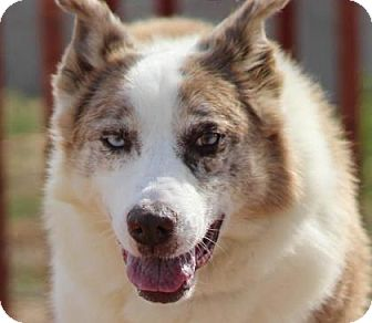 Australian Shepherd/Siberian Husky Mix Dog for adoption in Colorado Springs, Colorado - Courage