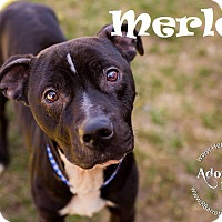 Adopt A Pet :: Merle - Ringwood, NJ