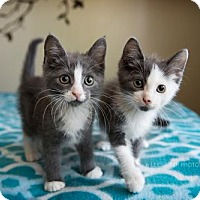 Adopt A Pet :: Thor and Loki - Atlanta, GA