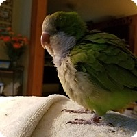 Parakeet - Quaker for adoption in St. Louis, Missouri - Cookie