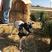Adopt A Pet :: Trixie - joliet, IL