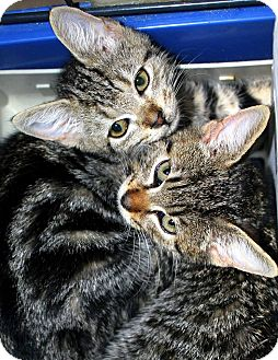 Domestic Shorthair Cat for adoption in Bethpage, New York - Fran and Frank