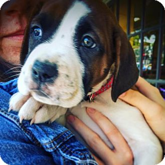 Boxer Mix Puppy for adoption in Memphis, Tennessee - Nia