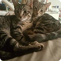 Adopt A Pet :: Zsa-Zsa - New York, NY