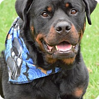 Rottweiler Dog for adoption in Mason, Michigan - Buddy