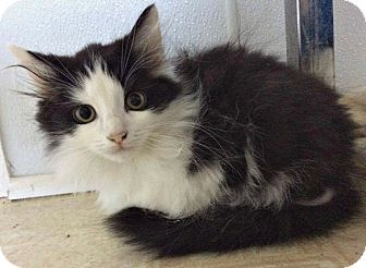 Domestic Mediumhair Kitten for adoption in Jefferson, North Carolina - Kirk