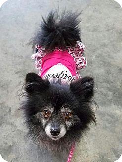 Pomeranian Mix Dog for adoption in Sacramento, California - Elsie