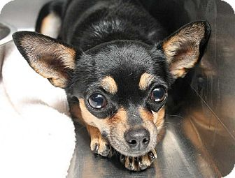 Chihuahua Mix Dog for adoption in Fort Madison, Iowa - Knightess
