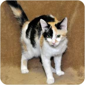 Calico Cat for adoption in Harrisburg, North Carolina - Gypsey