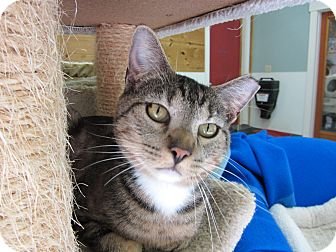 Domestic Shorthair Cat for adoption in Kingston, Washington - Castor