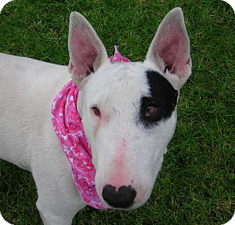 Bull Terrier Dog for adoption in El Cajon, California - Kenzie