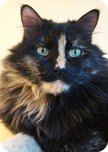 Domestic Longhair Cat for adoption in Medford, Massachusetts - Boo-Boo