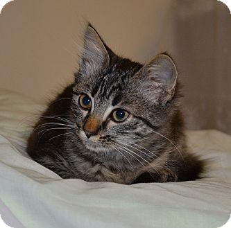 Maine Coon Kitten for adoption in Davis, California - Rain Drop