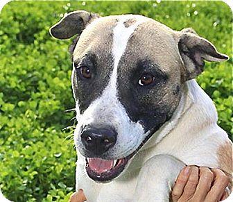 jasmine adopted dog austin tx australian shepherd