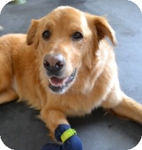 Golden Retriever Mix Dog for adoption in Scottsdale, Arizona - Jade