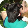 Labrador Retriever Mix Puppy for adoption in Mission Viejo, California - Frances