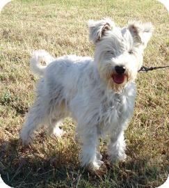 Schnauzer (Miniature) Mix Dog for adoption in Larned, Kansas - Gypsy